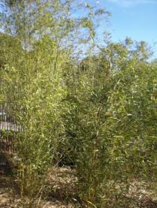 Bamboo Plantation