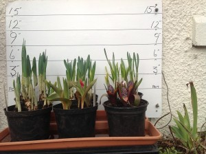 Caley bulbs 23rd February