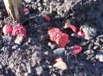 Rhubarb shoots emerging