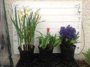 Surfside Tulip and Hyacinth