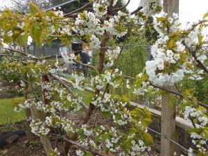 Cherry Blossom May 2013