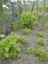 Good growth on the Autumn Raspberries