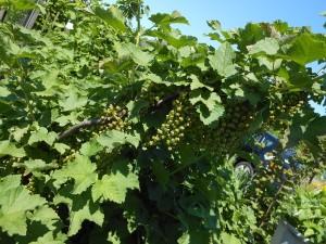 Good crop of redcurrants