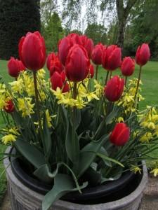 Narcissus Hawera and Tulip Coleur Cardinal