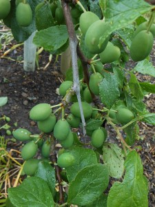 Plums 27th June
