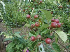 Discovery Apples (July 4th)