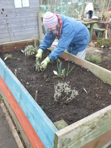 Moving the herbs to the raised bed