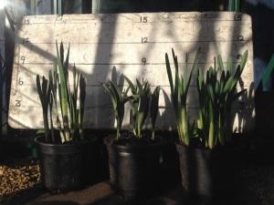 Caley pots March 7th