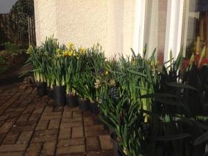Daffodils outside in the warm corner