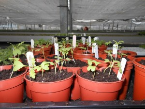 Japanese vegetables first germination