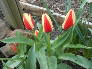Tulips on the allotment