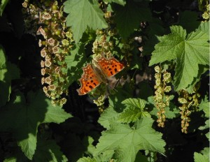 Comma butterfly on Redcurrant flowers