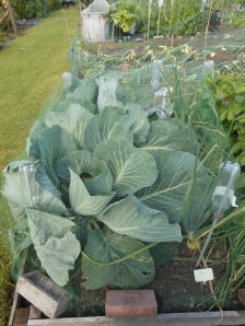 Cabbages grown with biochar