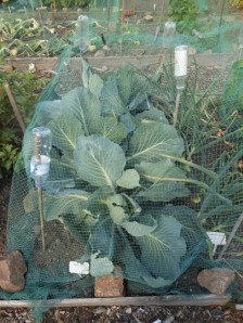Cabbages without biochar