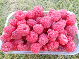 Raspberries on allotment