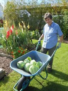 Biochar cabbages ready