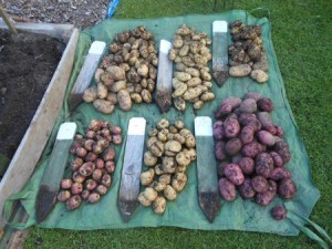 Drying off the potatoes