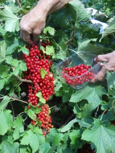 Our productive Redcurrant bushes