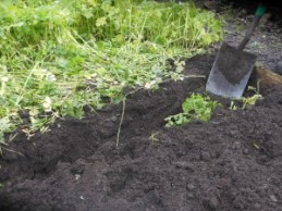 Digging in the green manure
