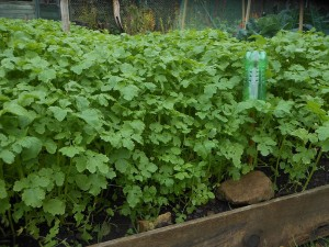 Good growth on the green manure