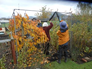 Rolling up the fruitcage netting