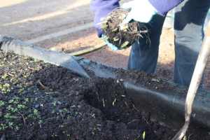 Gently removing compost (2)