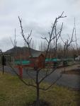 Perfectly pruned apple tree
