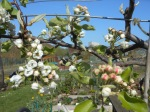 Blossoming of the Pear tree looking stunning