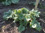 The Rhubarb putting ongood growth