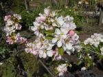Beautiful apple blossom, variety 'Sunset'