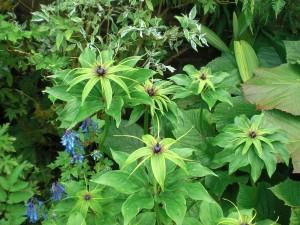 Cally (Paris quadrifolia a)