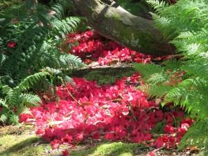 Carpet of Rhododendron Grenadier petals (Logan) a