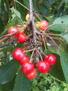 Cherries ripening fast