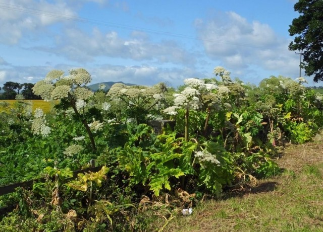Gt Hogweed thicket