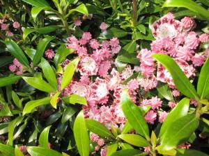 Kalmia latifolia (possibly 'Minuet') Glenwhan a