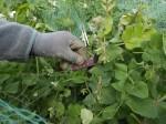Harvesting the Purple Mangetout peas