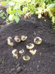 Uncovering the potatoes