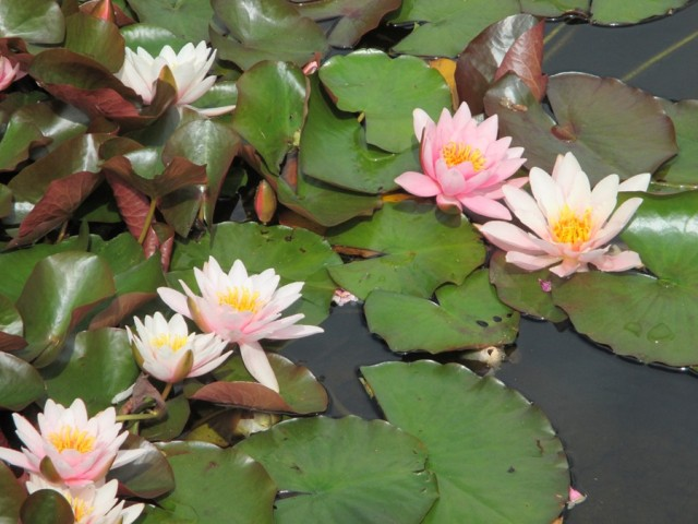 Water Lily (Glenwhan a)