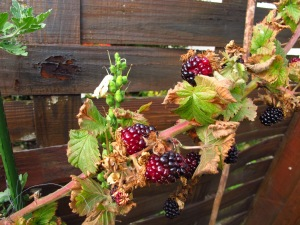 My own ripening berries