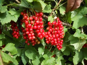 Redcurrants hanging from the bush ready for harvest