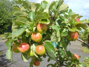 Apples ripening well