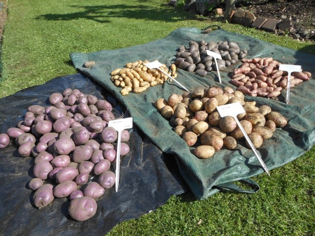 Potatoes crops - Mayan Gold, Sarpo Blue, Arran Victory, Cara, Pink Fir Apple 2015
