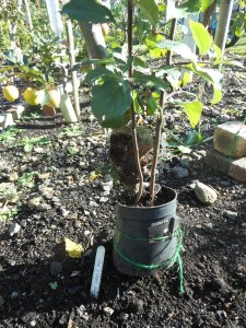Apple Rootstock Charles Ross