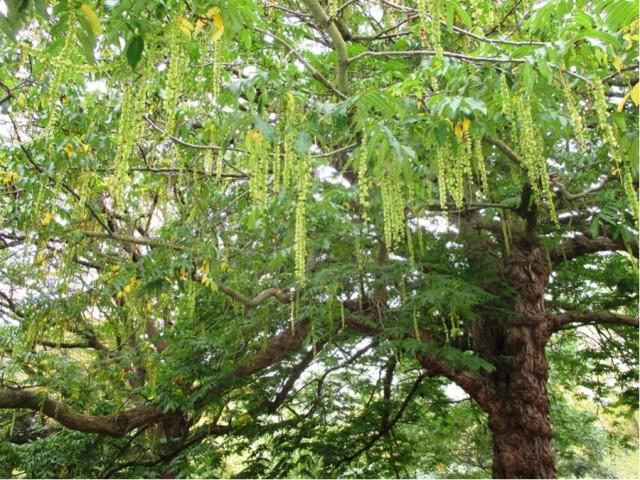 Pterocarya fraxinfolia