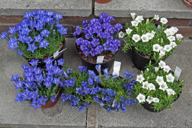 Scottish gentians
