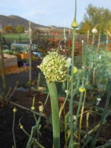 Seed heads on the leeks