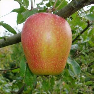 Apples, variety Adam's Pearman