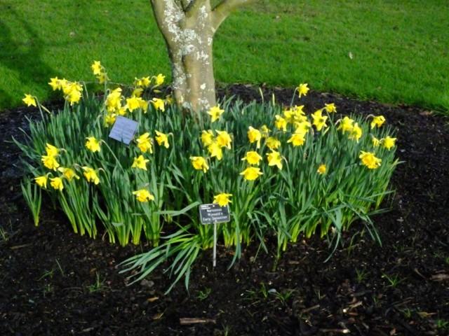 Early daffodils in Wisley 2016