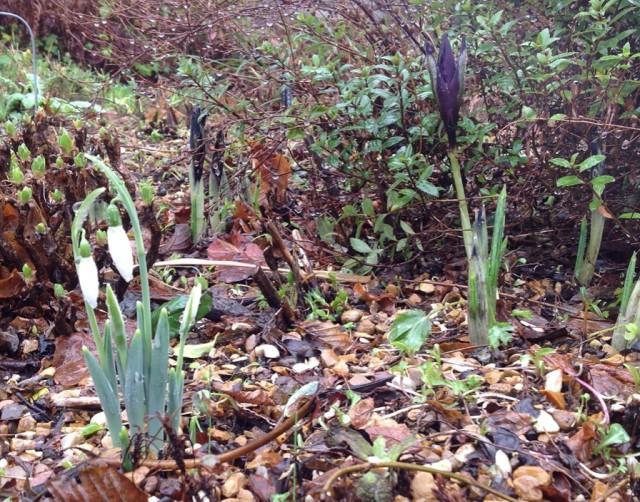 Spring Bulbs January(2)
