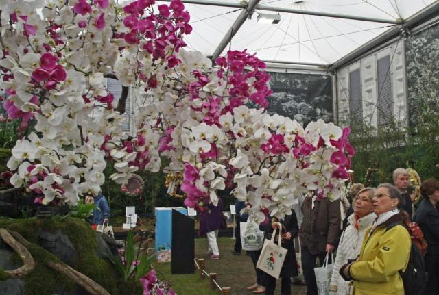 Phalaenopsis on show